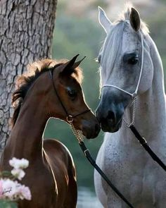 Mare and foal nose to nose. Sweet Arabian horses.