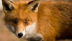 Look at the reddish orange  fur soooooooo beautiful
