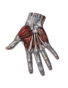 Anatomy of the dorsal aspect of the hand.