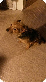 Crown Point, IN - Yorkie, Yorkshire Terrier. Meet Angel, a dog for adoption. http://www.adoptapet.com/pet/15014326-crown-point-indiana-yorkie-yorkshire-terrier