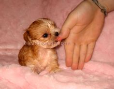 morkie I have been wantin one forever my mom and dad say no