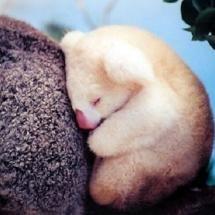 Aww!  It looks like a baby polar bear but it 's a white koala!