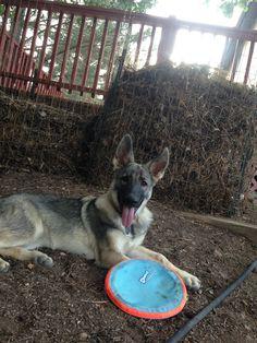 Bria, German Shepherd, 4 months old