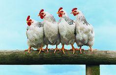 Cresce movimento em busca de uma produção mais humanitária de ovos