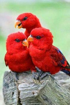Red parrots.