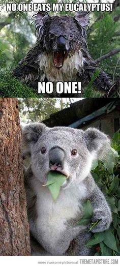 Possessive Koala…