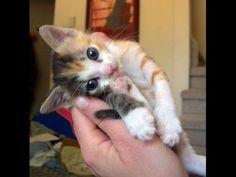 The More loving Kittens YOUTUBE CHANNEL SUBSCRIBE: http://www.youtube.com/user/TheFederic777?sub_confirmation=1  FACEBOOK:  https://www.facebook.com/KittensLoveForever/  PINTEREST: http://es.pinterest.com/fredalb/  BLOG:  http://look-how-cute-kittens-2.blogspot.com/  BLOG:  http://make-dogs-be-happy.blogspot.com/    #Video #Cute #Cats #Kittens #Pet