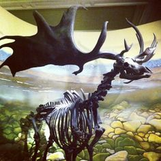 Megaloceros is an extinct genus of deer whose members lived throughout Eurasia from the early Pleistocene to the beginning of the Holocene era. giganteus was the largest species , measuring at the shoulder Deer Skeleton, Skeleton Tattoos, Irish Elk, Bristol Museum, Extinct Animals, Types Of Art, Prehistoric, Natural History, Fossils