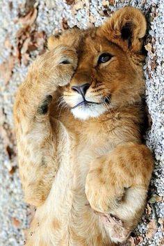 Tierno cachorro de leon cats and kittens, big cats, beautiful cats, animals beautiful Cute Baby Animals, Animals And Pets, Funny Animals, Funny Cats, Animals Images, Wild Animals, Beautiful Cats, Animals Beautiful, Pretty Animals