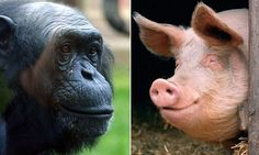 'Humans evolved after a female chimpanzee mated with a pig' I love this idea!