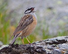 Cia / Rock Bunting | Flickr - Photo Sharing!