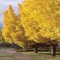 Must prioritize getting a ginkgo tree.