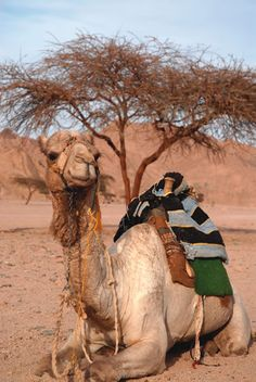 camel images pictures | Camel - Answers in Genesis