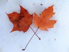 Maple leaves | © Alan Levine/Flickr