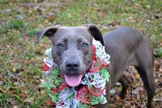 SAFE --- Staten Island Center  CHEWY - A1021523  FEMALE, GRAY / WHITE, PIT BULL MIX, 8 mos STRAY - AVAILABLE, NO HOLD Reason STRAY  Intake condition EXAM REQ Intake Date 11/23/2014, From NY 10306, DueOut Date 11/26/2014, https://www.facebook.com/photo.php?fbid=910840205595526%2F