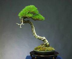 Mario Komsta bunjin-style bonsai (=)