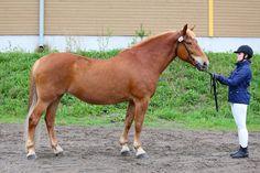 Noituva, Finnhorse mare. © Hippos/Susanna Kauranen Horse Breeds, Horses, Animals, Animales, Animaux, Animal, Animais, Horse