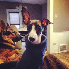 #italiangreyhound That's a big ear Dobby!