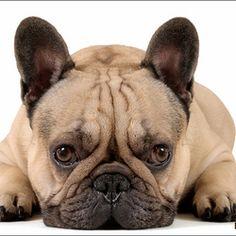 franse-bulldog