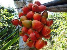 Se virando sem grana: Pupunha, palmeira tropical