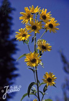 Maximiliani from Jelitto - Year of the Sunflower - National Garden Bureau - Perennial Sunflower for your garden Easy To Grow Flowers, Large Flowers, Fresh Flowers, Beautiful Flowers, Giant Sunflower, Sunflower Seeds, Perennial Sunflower, Growing Sunflowers, Succession Planting