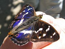 List of butterflies of Great Britain - Wikipedia, the free encyclopedia