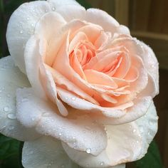 Francis Meilland - Hybrid Tea - No Spray Required - Fragrant @Star Roses and Plants
