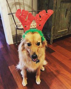 Merry Christmas and happy holidays! #christmas #dogstagram #dogsofinstagram #dog #spitz #vdog #vegan #vegansofig