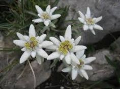 l'edelweiss