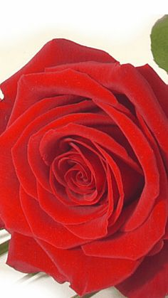 A perfect single Rose, 12 not needed when you get it right with one x Beautiful Butterflies, Beautiful Flowers, Rosas Gif, Large Sea Shells, Love You Gif, Good Morning Gif, Single Rose, Jennifer Love Hewitt, Illusion Art