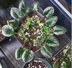 Easy To Grow Houseplants Clean the Air African Violet Leaf Propagation - How To Arrange Leaves In Groups Indoor Garden, Garden Plants, Indoor Plants, House Plants, Indoor Bonsai, Container Gardening, Gardening Tips, Easy To Grow Houseplants, Violet Plant