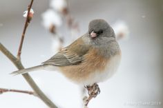Dark eyed Junco in Winter | Flickr - Photo Sharing!