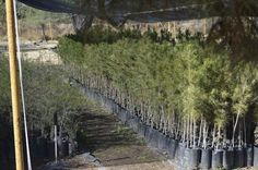 <p>- Chihuahuenses se comprometen con el medio ambiente al plantar árboles en sus hogares</p>  <p>Chihuahua, Chih.- El Gobierno