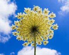 ~ Queen Anne's Lace.... favorite weed