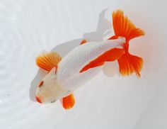 red and white jikin Goldfish Breeding, Fish Print, Beautiful Fish, Tropical Fish, Aquarium Fish, Habitats, Red And White, Fancy, Display