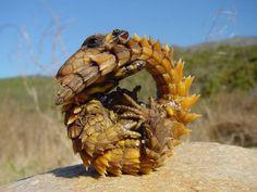 2. The Thorny Dragon (le moloch, cousin de Salamèche)