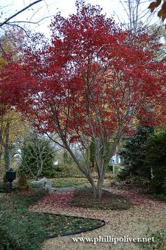 Dirt Therapy: More Japanese Maples
