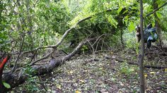 TS Hermine downed trees in the dairy farm woods over phase 3 of Gypsy's trail. 09/02/2016
