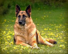 German Shepherd Photography DogblacktanGifts by VanillaExtinction, $20.00