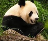 Giant pandas losing their habitats to humans