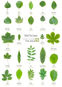 Discover the Wild - Foraging in Manchester, North Wales, Deeside Leaves Name, Tree Leaves, Plant Leaves, Leave In, Tree Leaf Identification, Leaf Shapes, Cactus Plants, Painting, Gardening
