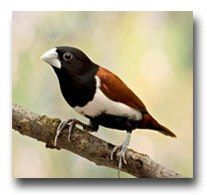 De Witkopnon  Lonchura Maja   De witkopnon is een klein vogeltje uit de familie van de prachtvinken (Estrildidae) oorspronkelijk afkomstig uit Malakka, Sumatra, Java en Bali. Witkopnon De kop en de hals zijn wit, de rest van het lichaam is chocoladebruin, de flanken zijn nog iets donkerder.