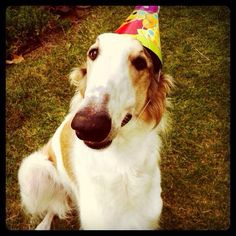 My Birthday boy on his 1st Birthday! Borzoi
