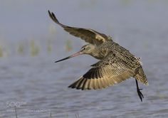 Marbled Godwit by jnsconstable #animals #animal #pet #pets #animales #animallovers #photooftheday #amazing #picoftheday