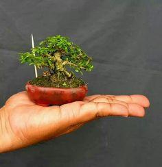 Indoor Bonsai Tree, Bonsai Plants, Bonsai Garden, Garden Trees, Bonsai Mame, Terraria Tips, Plantas Bonsai, Bonsai Styles, Miniature Trees