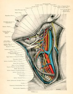 vintage illustration - diagram of the veins and arteries of the neck