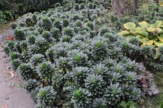 Euphorbia amygdaloides wood spurge Exposure: Deep shade, Filtered shade, Full sun only if soil kept moist, Part sun/part shade Spread: 2ft Flower Time at Peak: Apr, May