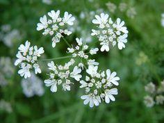 Yarrow 西洋蓍草 Achillea millefoliume