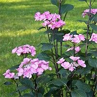 Hydrangea (Big Leaf Hydrangea) Abracadabra Star, Hydrangea macrophylla 'SAX Abracadabra Star A35-8' , is a must have and makes an enchanting landscape plant.  It adds sparkle to any area with its large, bright lace-cap flowers that emerge pink and white, and then mature to hot pink.  These hot pink blossoms appear atop black satin stems that provide interest in the garden even before the summer flowers open!   What a stunning summer color for your mixed borders; collect an armful for ...