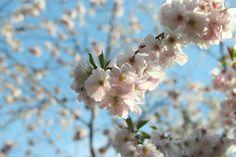 Cherry blossoms at Bispebjerg Kirkegaard, Copenhagen  by blogliebling.dk